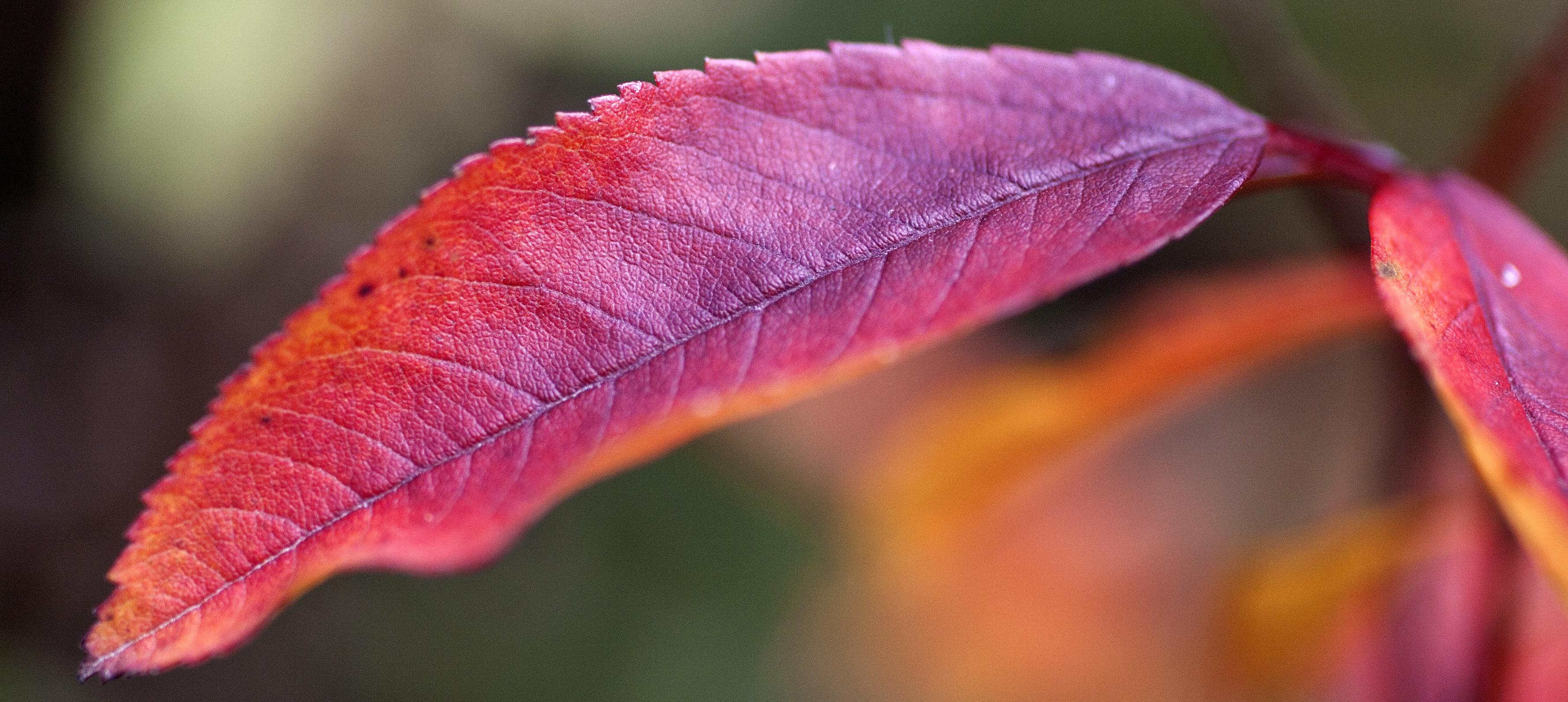 Simple red leaf
